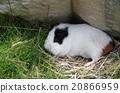 小動物 荷蘭豬 寵物 20866959