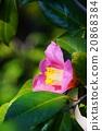 山茶花 日本山茶 開花 20868384