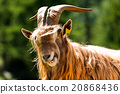 Mountain Male Goat - Italian Alps 20868436