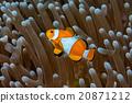 Clown fish portrait inside anemone 20871212