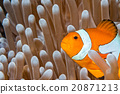 Clown fish portrait inside anemone 20871213