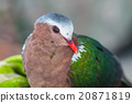 Emerald dove or Green Pigeon 20871819
