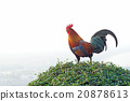 rooster stand on the bush plant 20878613