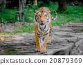 Bengal Tiger 20879369