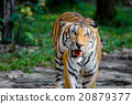 Bengal Tiger 20879377
