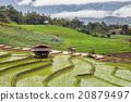 Green Terraced Rice Field in Pa Pong Pieng 20879497