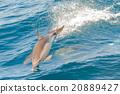 dolphin, jump, sea 20889427