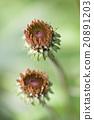 Echinacea buds 20891203