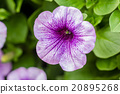 purple petunia flowers in the garden  20895268