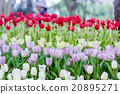 Beautiful tulips in garden 20895271