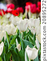 Beautiful tulips in garden 20895272