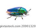 Beautiful Jewel Beetle  20901320