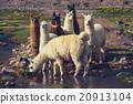 Llama 20913104