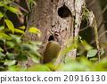 野生鳥類 日本綠啄木鳥 野鳥 20916130