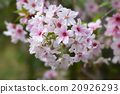 Spring flowers PV Botanical Garden Los Angeles' Japanese cherry blossoms are in full bloom in the morning light 20926293