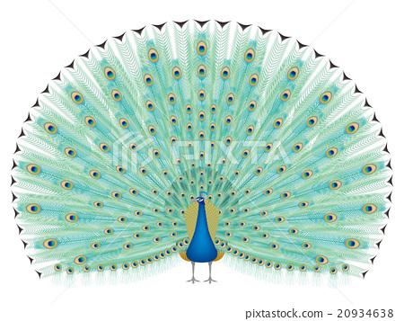 Peacock 20934638