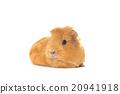 กินี,หมู,ขาว 20941918