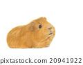 กินี,หมู,ขาว 20941922