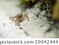 Spider in wall nature background 20942444