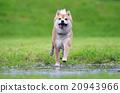 Shiba inu dog retrive a stick 20943966