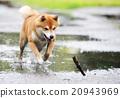 Shiba inu dog retrive a stick 20943969