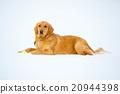 white background, dog, dogs 20944398