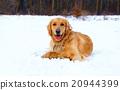 dog, dogs, golden retriever 20944399