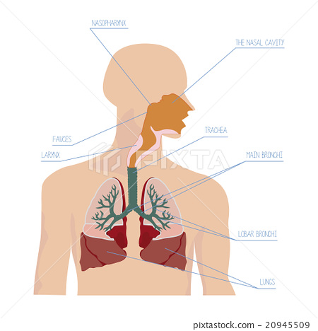 Human Respiratory System In Vector Stock Illustration 20945509