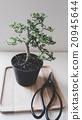 Green bonsai near to the Japanese scissors 20945644