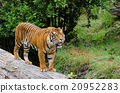 A tiger standing on the timber log. 20952283