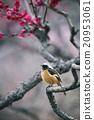 redstart, wild, bird 20953061