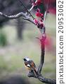 redstart, wild, bird 20953062