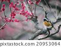 redstart, wild, bird 20953064
