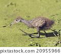 Limpkin Baby Bird 20955966