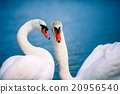 A pair of swans swimming in the lake 20956540