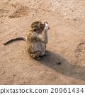 Thai monkey. 20961434