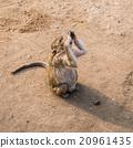 Thai monkey. 20961435