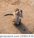 Thai monkey. 20961436