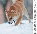 shiba inu dog on snow 20973297