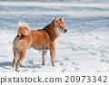 dirty shiba inu dog on snow 20973342