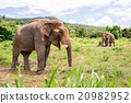 asian elephant in elephant camp 20982952