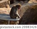 ลิงโดดเดี่ยว 20983426