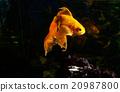Goldfish in aquarium 20987800