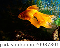 Goldfish in aquarium 20987801