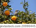 禽 柑橘類 野生鳥類 20990445