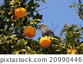 禽 柑橘類 野生鳥類 20990446
