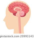 大腦 頭腦 斷面圖 20993143