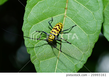 Insect on leaf from Thailand 20993161