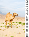 in oman empty quarter of desert a   21006182
