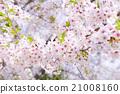 櫻花 櫻 賞櫻 21008160